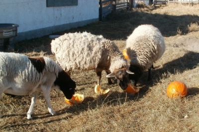 sheep eating pumpkin